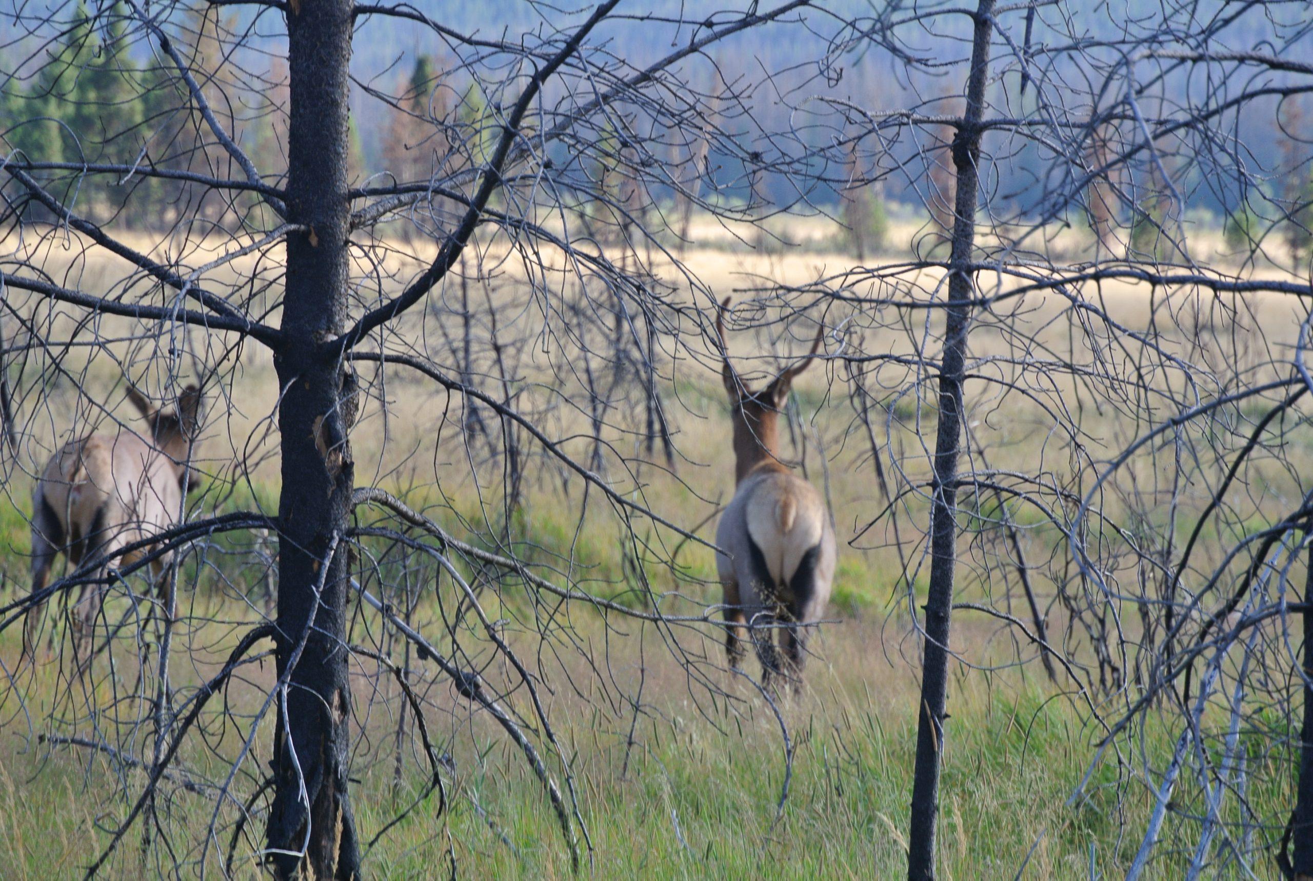 Rocky Mountain Elk photo by Ali Ulrich