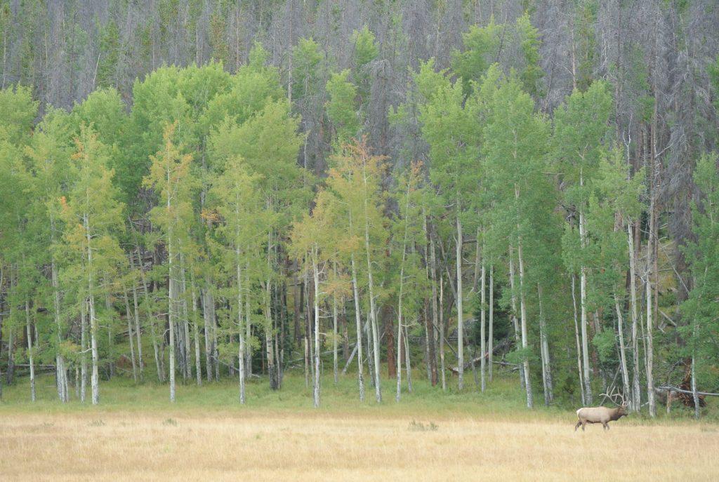Rocky Mountain Elk Photo by Ali Dowd
