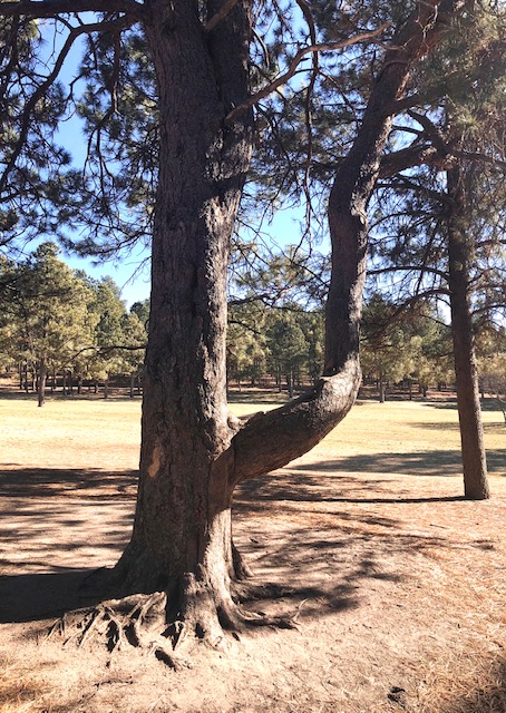 Ute Prayer Tree Fox Run Park Colorado