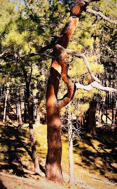 Ute Prayer Tree Fox Run Park Colorado photo by Danette Ulrich