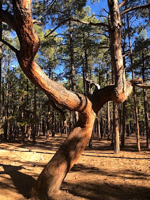 Ute Prayer Trees Culturally Modified Trees