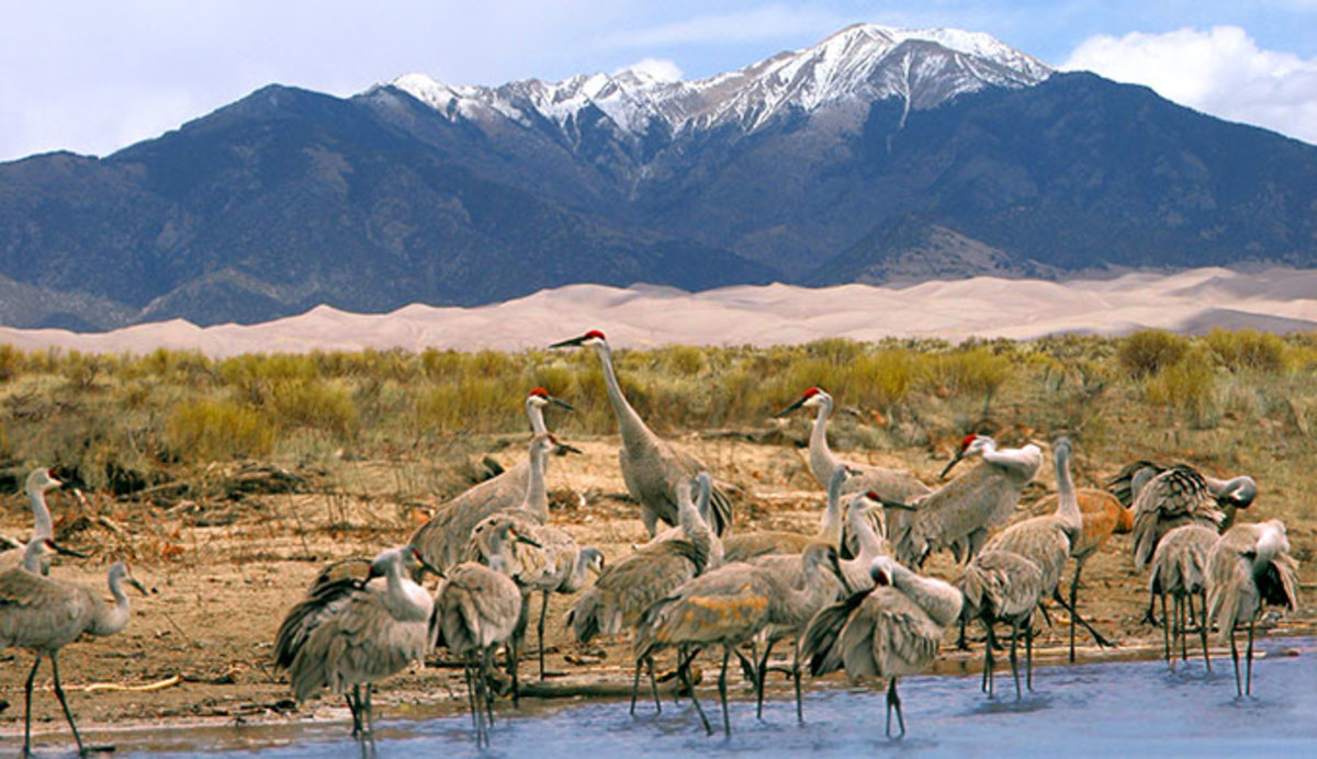 Sandhill Cranes near the Great Sand Dunes National Park a Colorado Dark Sky site near Alamosa Color