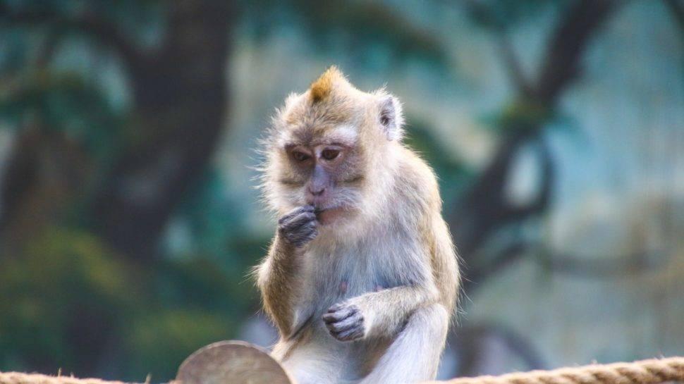 rhesus monkey on monkey island south carolina photo by Charleston Today