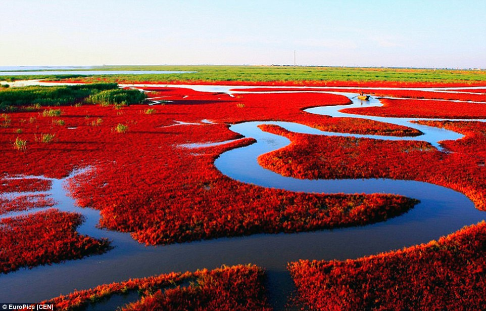 Panjin Red Beach - China a colorful place in nature