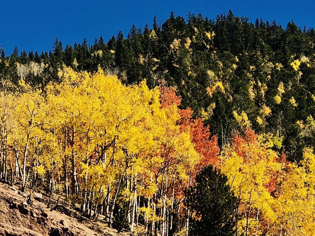 Aspen trees near Cripple Creek Colorado colors in nature